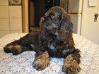 Изображение в Собаки и щенки Продажа собак, щенков Продаются очаровательные щенки американского в Москве 15000