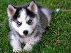 Фотография в  Отдам даром - приму в дар Приму в дар собаку породы хаски в Курске. в Курске 500