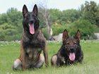 Фото в   - курс собака-компаньон (BH)  - общий курс в Курске 0