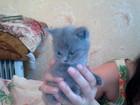 Изображение в Кошки и котята Продажа кошек и котят Продамголубых вислоухих и прямоухих британцев, в Курске 0