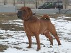 Скачать бесплатно фотографию Вязка собак Шарпеи, Кобели для вязки 37774793 в Курске