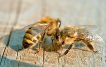 Пчелы в Кызыле
