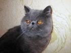 Увидеть фотографию  Котик экзотической короткошерстной, возраст 2 года, 37892012 в Липецке