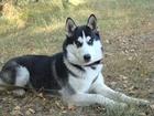 Фотография в Собаки и щенки Вязка собак Предлагаем кобеля сибирского хаски ( 2 года) в Липецке 0