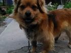 Смотреть фото Вязка собак дворянская порода 39174179 в Липецке