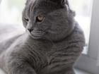 Скачать бесплатно изображение Вязка вязка с Британским котом 39216593 в Липецке