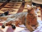 Скачать foto  Сомалийская кошка ищет котика, 68460993 в Липецке
