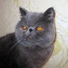 Котик экзотической короткошерстной, возраст 2 года