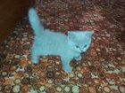Фотография в Кошки и котята Продажа кошек и котят Продам кошечек британских не дорого. Зво в Лиски 1000