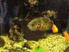 Просмотреть фото Аквариумные рыбки Продам очень красивого астронотуса 32983566 в Люберцы