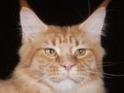 Уникальное фото Вязка Молодой кот мейн кун на вязку 37784688 в Люберцы