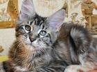 Фотография в Кошки и котята Продажа кошек и котят Продается крупная кошечка мейн-кун Джейн, в Магадане 0