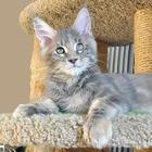 Кошечка мейн-кун - черепаховая красотка