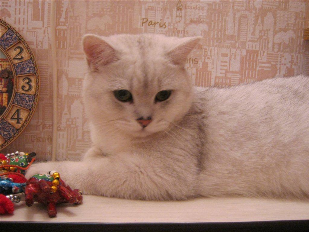 КОТЁНОК & ВЗРОСЛЫЙ британский кот/British Cat Harry - YouTube | 768x1024