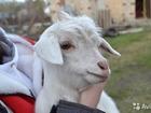 Фотография в Домашние животные Другие животные Родилась 25. 03. 16г  У старшей козы надой в Магнитогорске 0