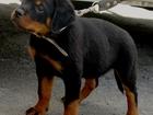 Фото в   щенки ротвейлера с документами возраст почти в Пласте 15000
