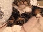 Изображение в Кошки и котята Вязка Кот приглашает кошечек породы Мейн Кун на в Магнитогорске 5000