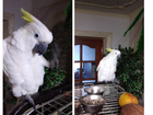 Увидеть изображение Птички и клетки продам желтохохлого какоду 75985544 в Магнитогорске