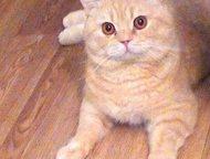Вязка кошек Британский котик 3 года , кремового окраса , с хорошей родословной ,