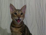Продается котенок чистокровная саванна Продается котенок породы саванна в качест