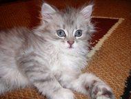 Возьму в дар или куплю недорого котенка сибирской породы Возьму в дар или куплю