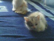 Отдам двух котят Отдам в добрые руки двух кошечек, 1,5 месяца. Одна рыже белая и