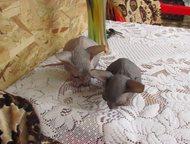 Продам котят донского сфинкса Продам котят донского сфинкса две девочки серого и