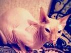 Изображение в Кошки и котята Продажа кошек и котят Продам Канадского сфинкса, кошка - 3 года, в Махачкале 30000
