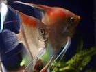 Изображение в   Продаются более 10 видов рыбок в Махачкале 50