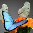 Живые тропические бабочки на ваш праздник