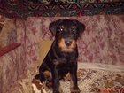 Увидеть изображение Вязка собак кобель ягдтерьера ищет сучку для вязки 33301744 в Калуге