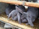 Скачать бесплатно фото Грызуны Продам кроликов 34904177 в Мценске
