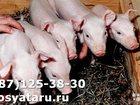 Скачать изображение Другие животные Поросятакорытники 34101709 в Мичуринске
