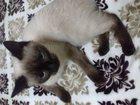 Фотография в Кошки и котята Вязка Молоденькая годовалая кошечка ищет пару для в Миллерово 0