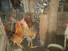 Изображение в Домашние животные Другие животные продам петухов молодых по 400 руб в Минеральных Водах 0