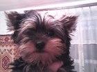 Фотография в Собаки и щенки Продажа собак, щенков Щенки йоркширского терьера, девочки и мальчик. в Минске 4500000