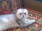 Изображение в Кошки и котята Продажа кошек и котят шикарный шотландский кот, редкого окраса в Минске 2200000