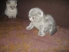 Фотография в Кошки и котята Продажа кошек и котят красивые плюшевые шотландские котята фолд в Минске 0