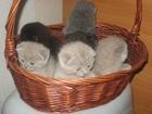 Фотография в Кошки и котята Продажа кошек и котят красивые плюшевые котята фолд лилового окраса в Минске 0