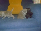 Фотография в Кошки и котята Продажа кошек и котят Котята родились 2. 01. 2016 от породистых в Минске 2000000