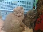 Изображение в Кошки и котята Продажа кошек и котят плюшевые шотландские котята мальчики лилового в Минске 0