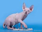 Свежее фотографию Кошки и котята Канадский сфинкс от элитных родителей 32325723 в Байконуре