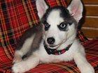 Фотография в Домашние животные Разное Продается чистокровный щенок Сибирский хаски в Москве 13000