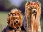Увидеть фото  Стрижка собак, Стрижка йорка, ши тцу, мал тезе, Выезд мастера на дом, 33781815 в Москве