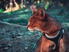 Фото в Домашние животные Разное Чаузи-гибрид дикого камышового кота и домашней в Москве 35000