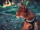 Фотография в Домашние животные Другие животные Чаузи-гибрид дикого камышового кота и домашней в Москве 35000
