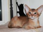 Фото в Домашние животные Разное Предлагаем Шикарных Абиссинских котят  Глазастеньких в Москве 10000