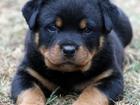 Новое изображение Разное Ротвейлера щенков 34783824 в Москве
