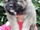 Фотография в Домашние животные Разное Питомник Амбер Амулет предлагает щенков кавказской в Москве 0