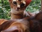 Увидеть фото Другие животные Абиссинские котята, Кошки, 36746856 в Москве